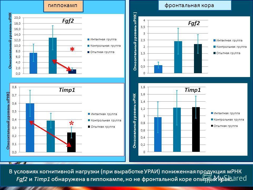 гиппокамп В условиях когнитивной нагрузки (при выработке УРАИ) пониженная продукция мРНК Fgf2 и Timp1 обнаружена в гиппокампе, но не фронтальной коре опытных крыс. * фронтальная кора Относительный уровень мРНК Относительный уровень мРНК) Относиельный