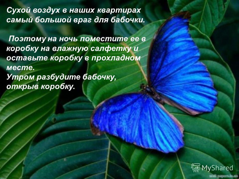 Сухой воздух в наших квартирах самый большой враг для бабочки. Поэтому на ночь поместите ее в коробку на влажную салфетку и оставьте коробку в прохладном месте. Утром разбудите бабочку, открыв коробку.