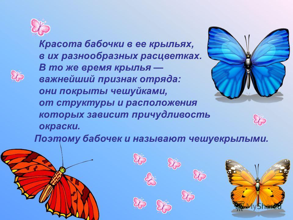 Красота бабочки в ее крыльях, в их разнообразных расцветках. В то же время крылья важнейший признак отряда: они покрыты чешуйками, от структуры и расположения которых зависит причудливость окраски. Поэтому бабочек и называют чешуекрылыми.