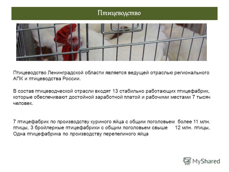Птицеводство Птицеводство Ленинградской области является ведущей отраслью регионального АПК и птицеводства России. В состав птицеводческой отрасли входят 13 стабильно работающих птицефабрик, которые обеспечивают достойной заработной платой и рабочими