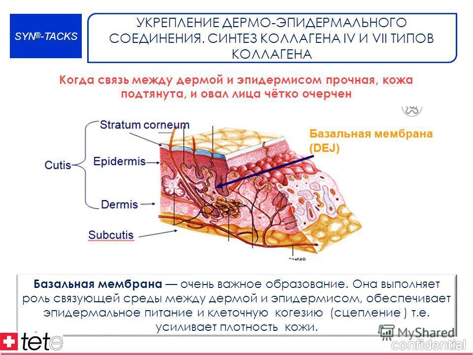 SYN ® -TACKS УКРЕПЛЕНИЕ ДЕРМО-ЭПИДЕРМАЛЬНОГО СОЕДИНЕНИЯ. СИНТЕЗ КОЛЛАГЕНА IV И VII ТИПОВ КОЛЛАГЕНА Базальная мембрана очень важное образование. Она выполняет роль связующей среды между дермой и эпидермисом, обеспечивает эпидермальное питание и клеточ
