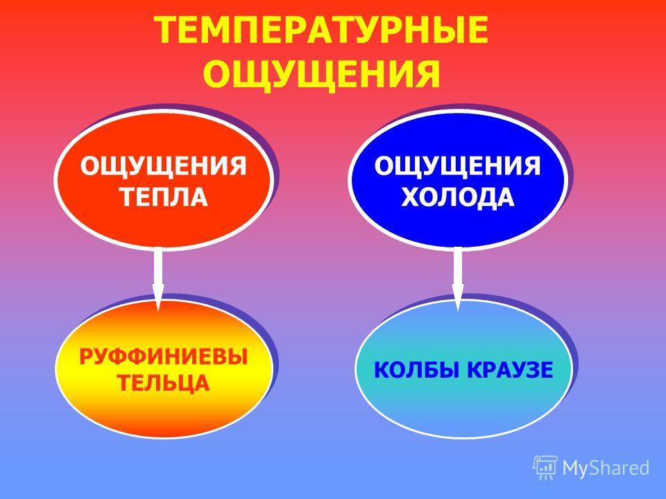 ТЕМПЕРАТУРНЫЕ ОЩУЩЕНИЯ ОЩУЩЕНИЯ ТЕПЛА ОЩУЩЕНИЯ ТЕПЛА ОЩУЩЕНИЯ ХОЛОДА ОЩУЩЕНИЯ ХОЛОДА РУФФИНИЕВЫ ТЕЛЬЦА РУФФИНИЕВЫ ТЕЛЬЦА КОЛБЫ КРАУЗЕ