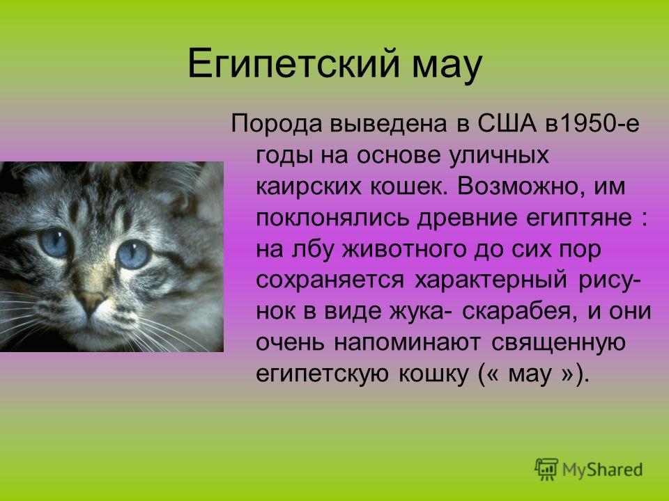 Египетский мау Порода выведена в США в1950-е годы на основе уличных каирских кошек. Возможно, им поклонялись древние египтяне : на лбу животного до сих пор сохраняется характерный рису- нок в виде жука- скарабея, и они очень напоминают священную егип