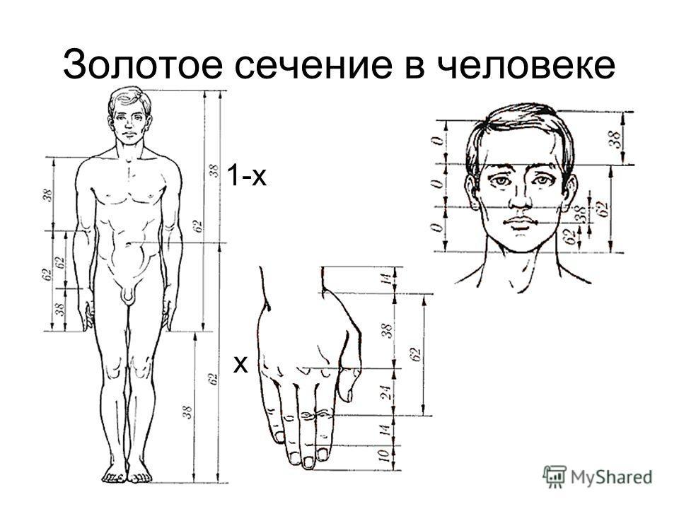 Золотое сечение в человеке х 1-x