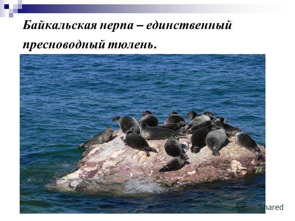 Байкальская нерпа – единственный пресноводный тюлень.