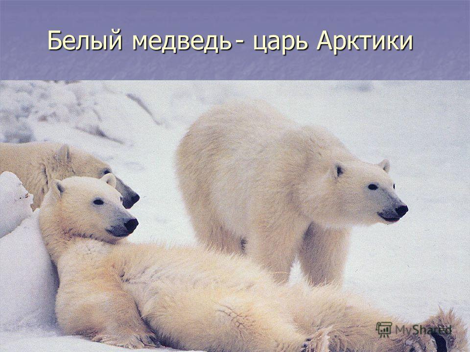 Белый медведь- царь Арктики