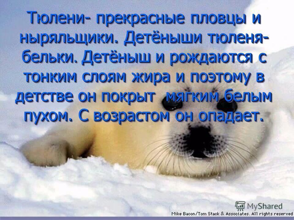 Тюлени- прекрасные пловцы и ныряльщики. Детёныши тюленя- бельки. Детёныш и рождаются с тонким слоям жира и поэтому в детстве он покрыт мягким белым пухом. С возрастом он опадает.