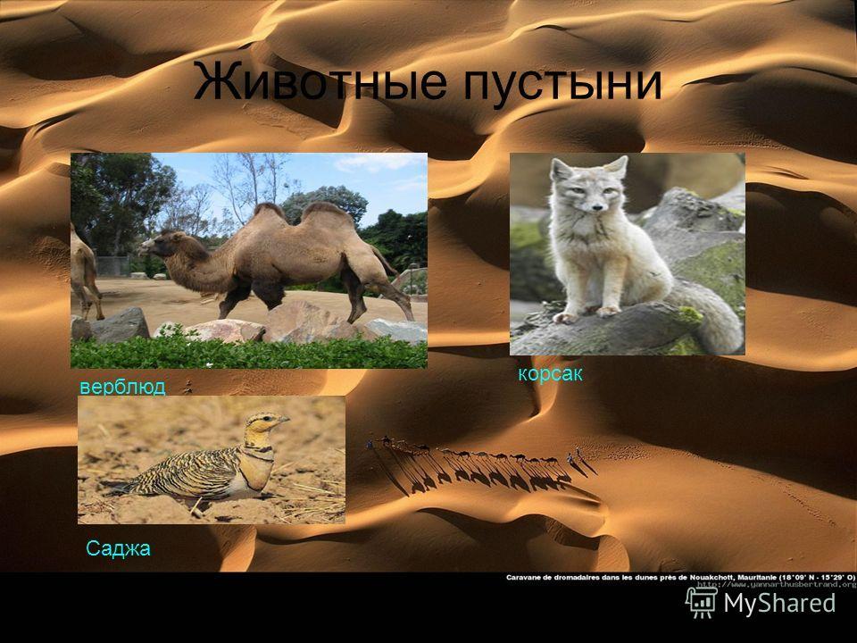 Животные пустыни верблюд корсак Саджа
