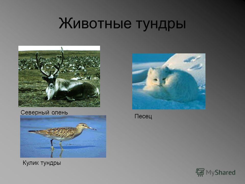 Животные тундры Северный олень Песец Кулик тундры
