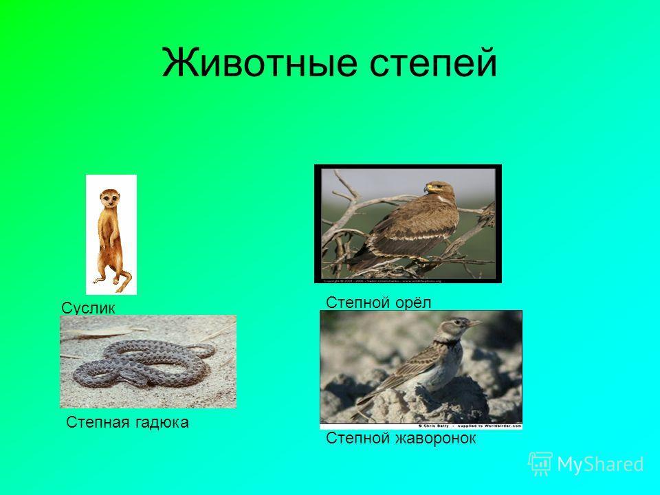 Животные степей Суслик Степной орёл Степной жаворонок Степная гадюка