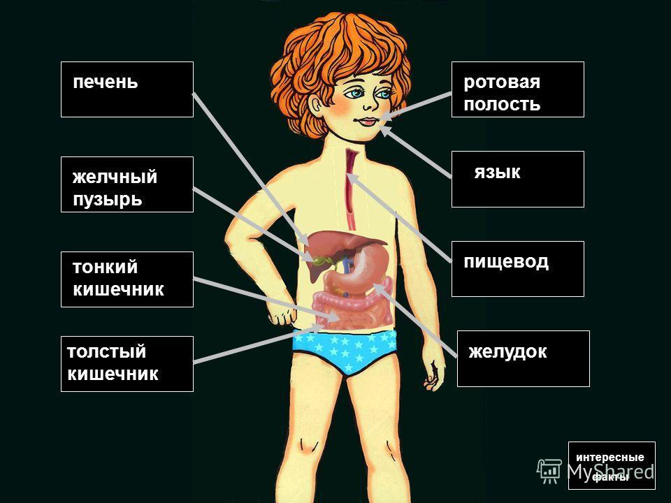 интересные факты печень желчный пузырь толстый кишечник язык желудок пищевод ротовая полость тонкий кишечник