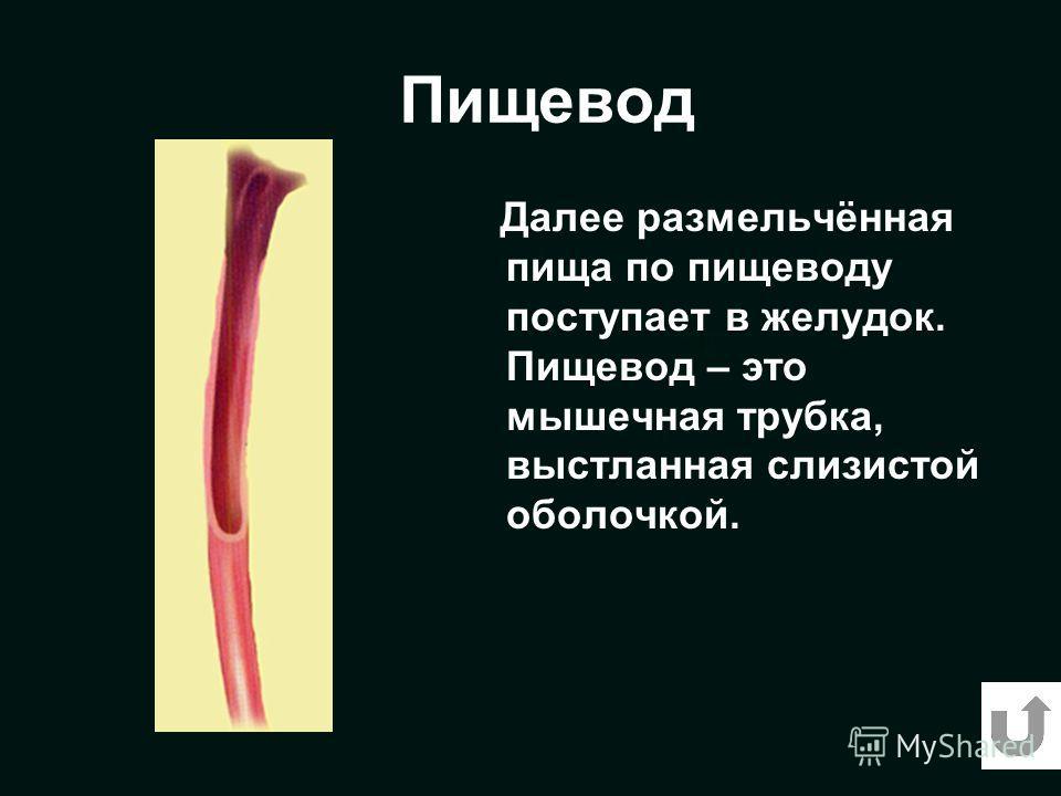 Пищевод Далее размельчённая пища по пищеводу поступает в желудок. Пищевод – это мышечная трубка, выстланная слизистой оболочкой.