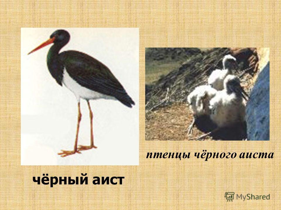 чёрный аист птенцы чёрного аиста