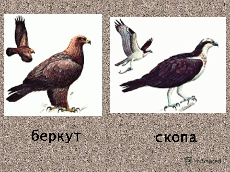 беркут скопа