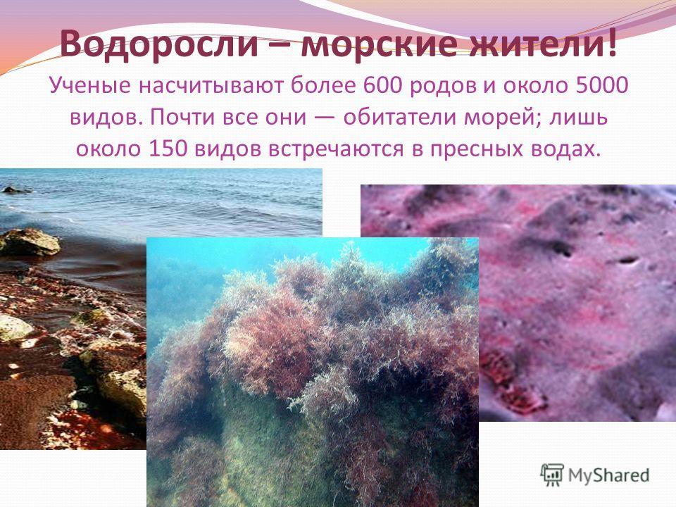 Работа ученицы 6 «А» класса Ерыкаловой Александры. Красные водоросли или багрянки.