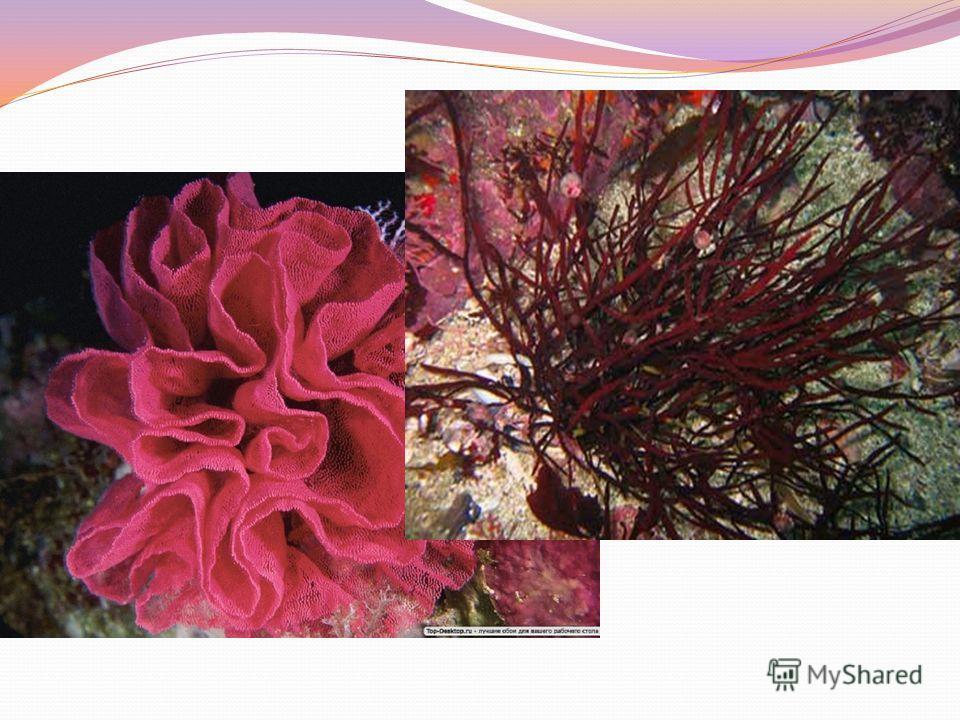 Внешнее слоевище красных водорослей весьма разнообразны, часто красивы и причудливы. Здесь можно встретить различные формы: нитевидные, пластинчатые, цилиндрические, корковидные, пузыревидные, кораллоподобные. 1. Порфира 2. Фикодрис 3. Птилота 4. Хон