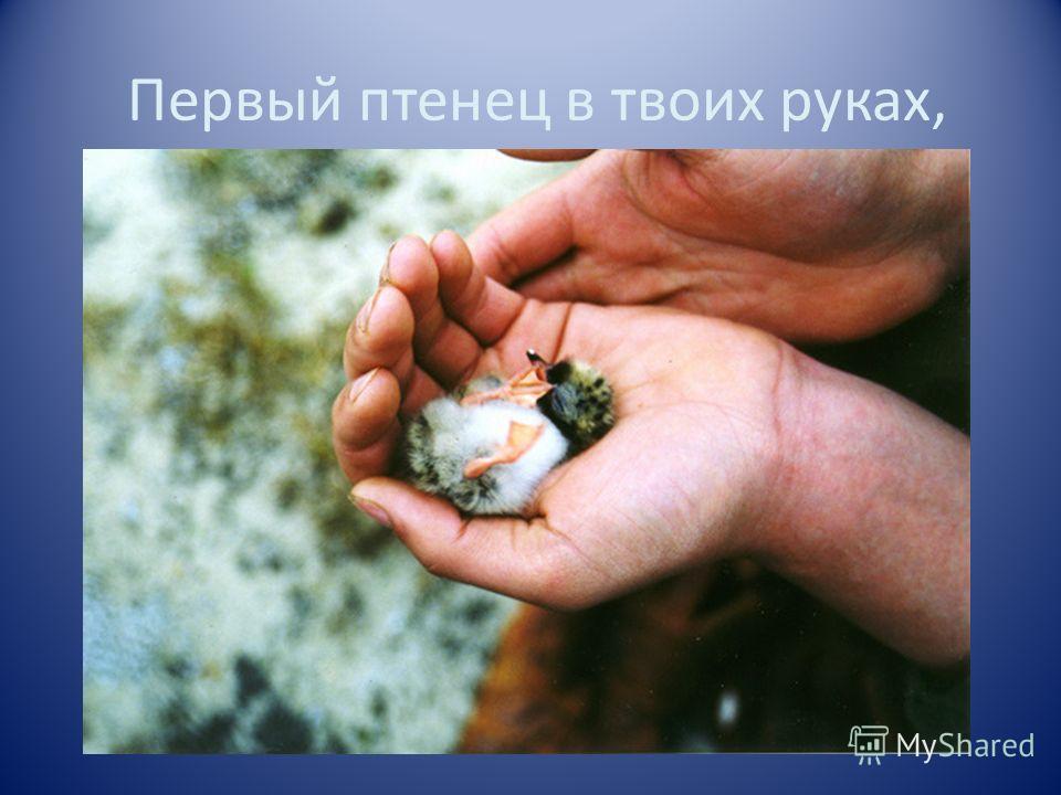 Первый птенец в твоих руках,