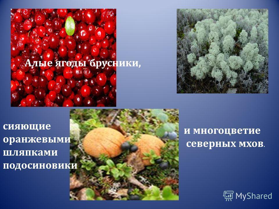 сияющие оранжевыми шляпками подосиновики Алые ягоды брусники, и многоцветие северных мхов.