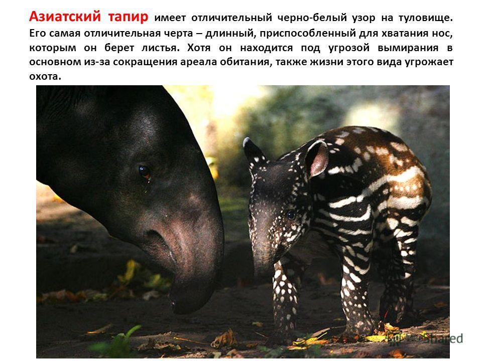 Азиатский тапир имеет отличительный черно-белый узор на туловище. Его самая отличительная черта – длинный, приспособленный для хватания нос, которым он берет листья. Хотя он находится под угрозой вымирания в основном из-за сокращения ареала обитания,