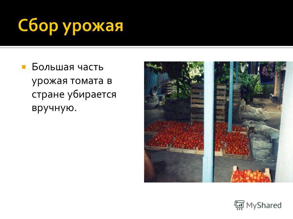 Большая часть урожая томата в стране убирается вручную.