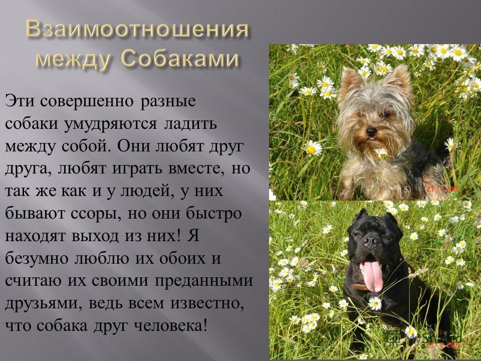 Эти совершенно разные собаки умудряются ладить между собой. Они любят друг друга, любят играть вместе, но так же как и у людей, у них бывают ссоры, но они быстро находят выход из них! Я безумно люблю их обоих и считаю их своими преданными друзьями, в