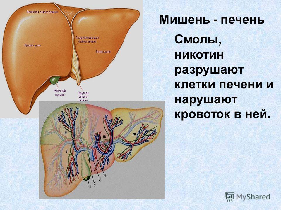 Мишень - печень Смолы, никотин разрушают клетки печени и нарушают кровоток в ней.