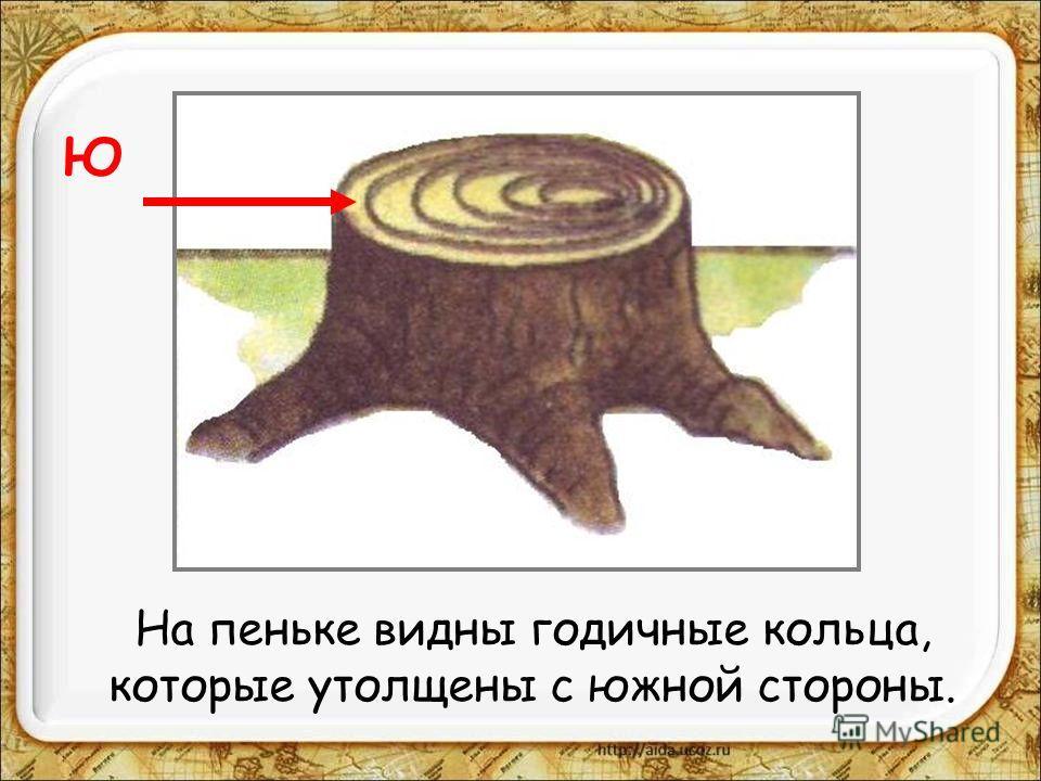 На пеньке видны годичные кольца, которые утолщены с южной стороны. Ю