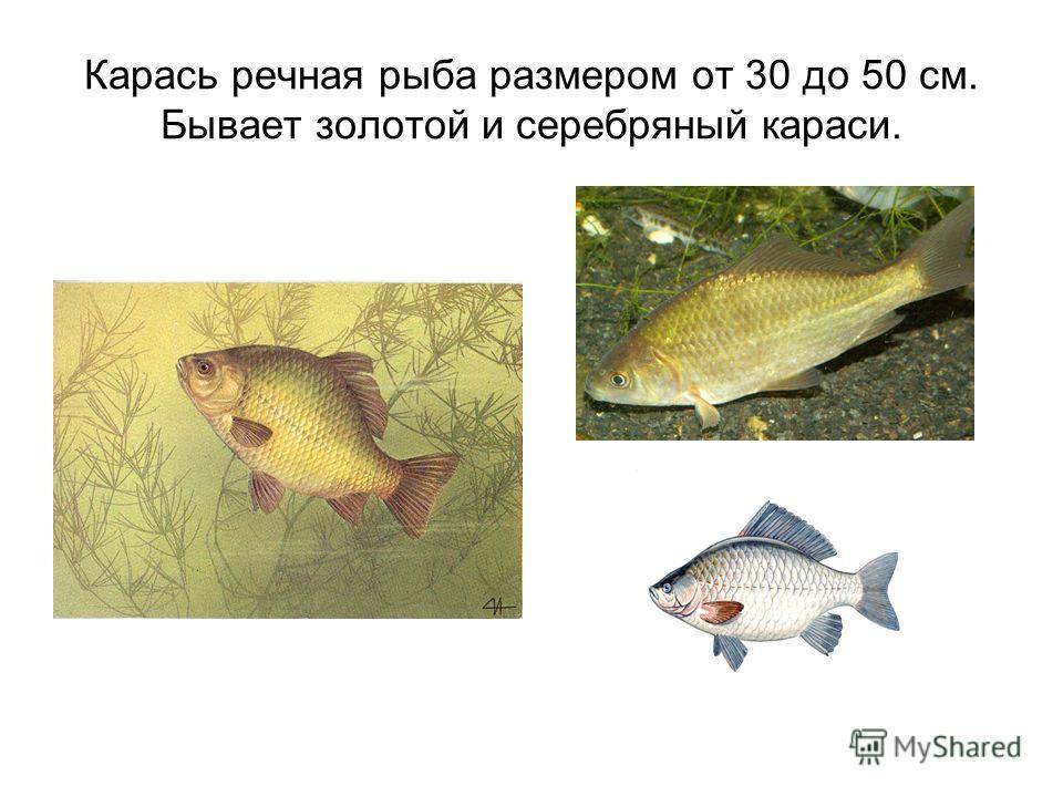 Карась речная рыба размером от 30 до 50 см. Бывает золотой и серебряный караси.