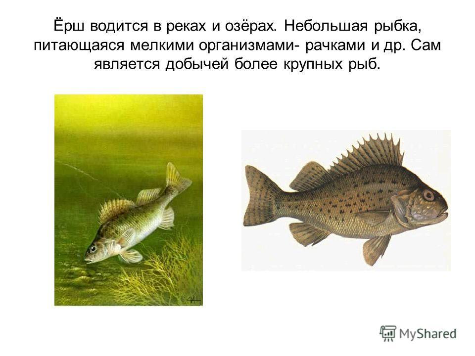 Ёрш водится в реках и озёрах. Небольшая рыбка, питающаяся мелкими организмами- рачками и др. Сам является добычей более крупных рыб.