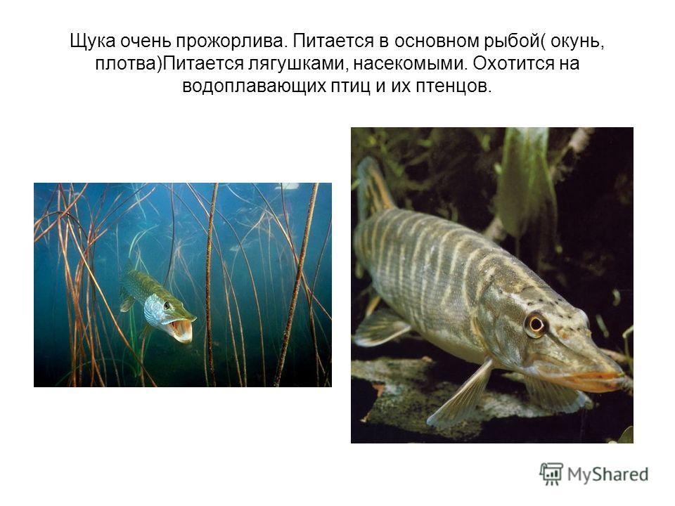 Щука очень прожорлива. Питается в основном рыбой( окунь, плотва)Питается лягушками, насекомыми. Охотится на водоплавающих птиц и их птенцов.