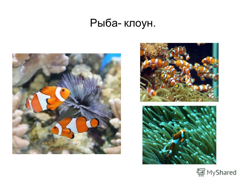 Рыба- клоун.