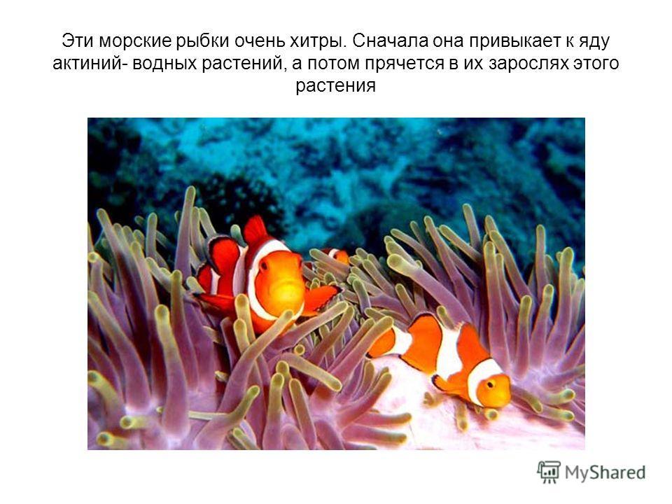 Эти морские рыбки очень хитры. Сначала она привыкает к яду актиний- водных растений, а потом прячется в их зарослях этого растения