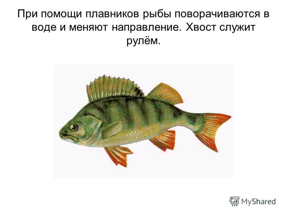 При помощи плавников рыбы поворачиваются в воде и меняют направление. Хвост служит рулём.