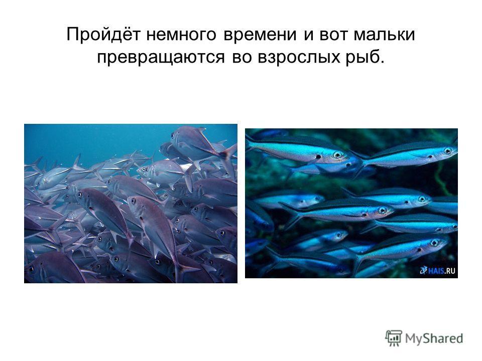 Пройдёт немного времени и вот мальки превращаются во взрослых рыб.
