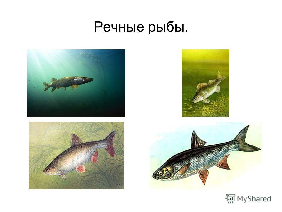 Речные рыбы.