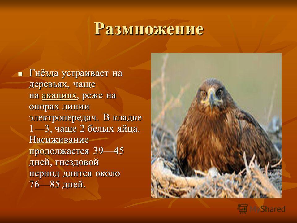 Размножение Гнёзда устраивает на деревьях, чаще на аааа кккк аааа цццц ииии яяяя хххх, реже на опорах линии электропередач. В кладке 13, чаще 2 белых яйца. Насиживание продолжается 3945 дней, гнездовой период длится около 7685 дней.