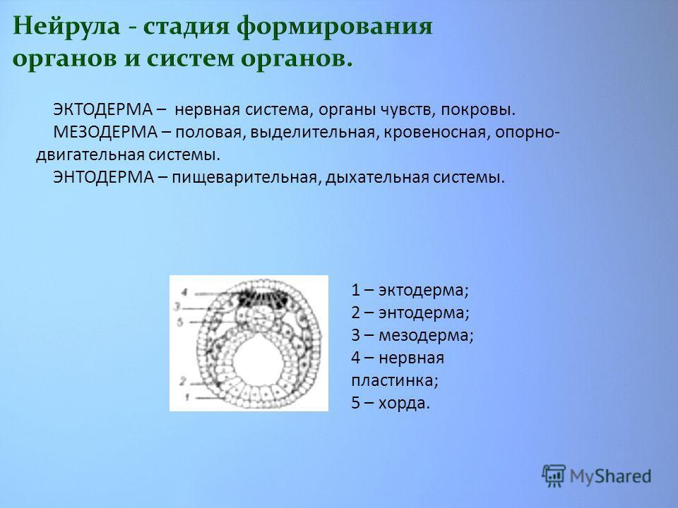 1 – эктодерма; 2 – энтодерма; 3 – мезодерма; 4 – нервная пластинка; 5 – хорда. ЭКТОДЕРМА – нервная система, органы чувств, покровы. МЕЗОДЕРМА – половая, выделительная, кровеносная, опорно- двигательная системы. ЭНТОДЕРМА – пищеварительная, дыхательна
