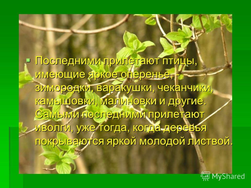 Последними прилетают птицы, имеющие яркое оперенье, - зимородки, варакушки, чеканчики, камышовки, малиновки и другие. Самыми последними прилетают иволги, уже тогда, когда деревья покрываются яркой молодой листвой. Последними прилетают птицы, имеющие