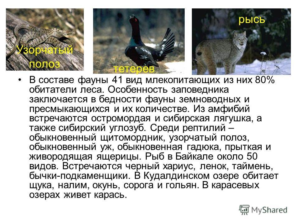 В составе фауны 41 вид млекопитающих из них 80% обитатели леса. Особенность заповедника заключается в бедности фауны земноводных и пресмыкающихся и их количестве. Из амфибий встречаются остромордая и сибирская лягушка, а также сибирский углозуб. Сред