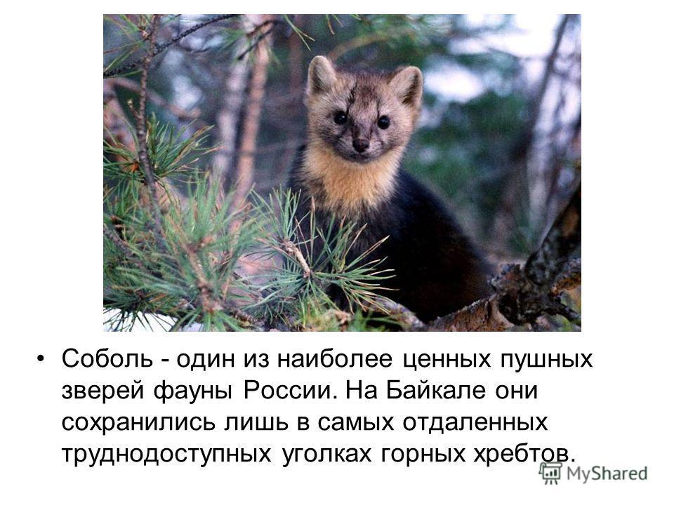 Cоболь - один из наиболее ценных пушных зверей фауны России. На Байкале они сохранились лишь в самых отдаленных труднодоступных уголках горных хребтов.