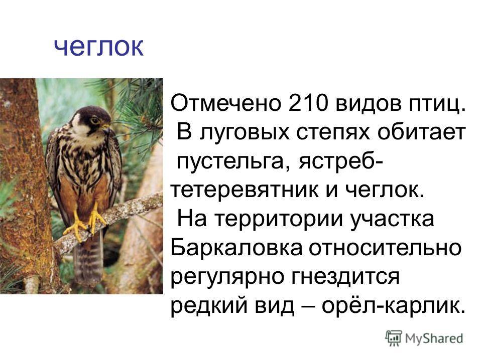 чеглок Отмечено 210 видов птиц. В луговых степях обитает пустельга, ястреб- тетеревятник и чеглок. На территории участка Баркаловка относительно регулярно гнездится редкий вид – орёл-карлик.