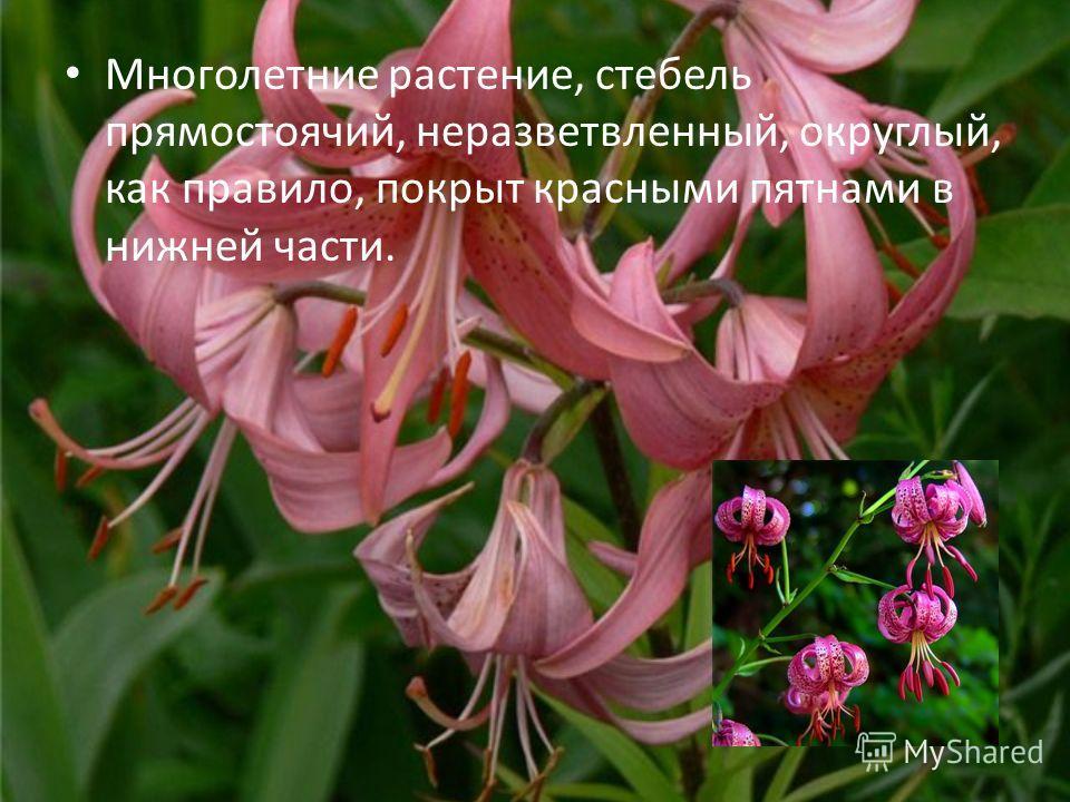 Многолетние растение, стебель прямостоячий, неразветвленный, округлый, как правило, покрыт красными пятнами в нижней части.