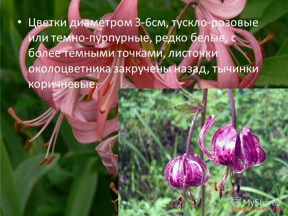 Цветки диаметром 3-6см, тускло-розовые или темно-пурпурные, редко белые, с более темными точками, листочки околоцветника закручены назад, тычинки коричневые.