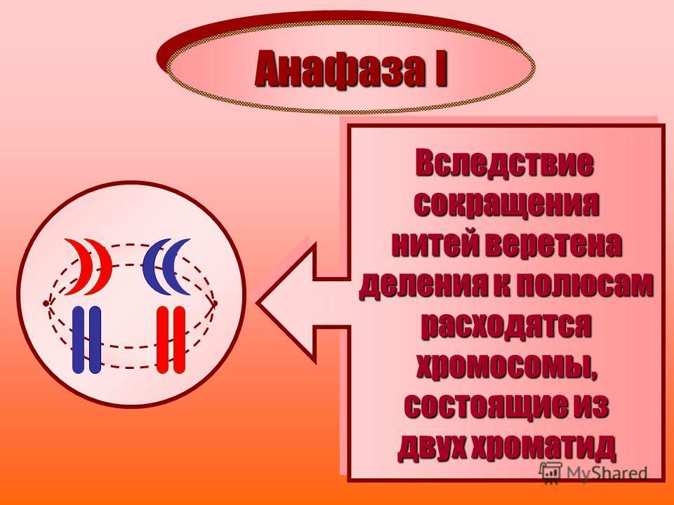 Анафаза I Вследствиесокращения нитей веретена деления к полюсам расходятсяхромосомы, состоящие из двух хроматид Вследствие сокращения нитей веретена деления к полюсам расходятся хромосомы, состоящие из двух хроматид