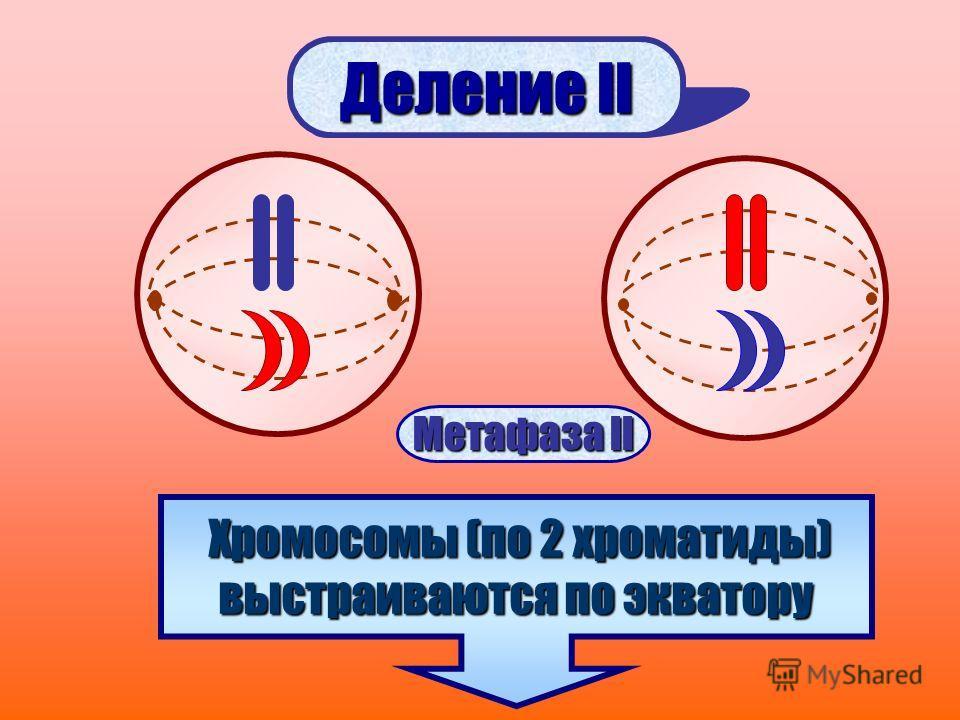 Деление II Хромосомы (по 2 хроматиды) выстраиваются по экватору Метафаза II