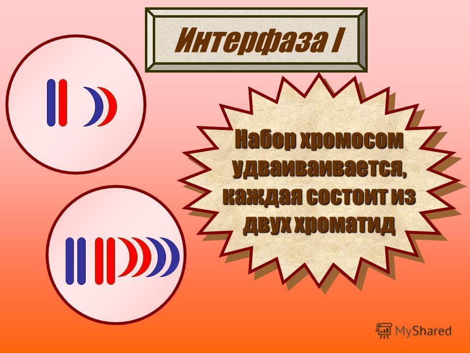 Интерфаза I Набор хромосом удваиваивается, каждая состоит из двух хроматид Набор хромосом удваиваивается, каждая состоит из двух хроматид