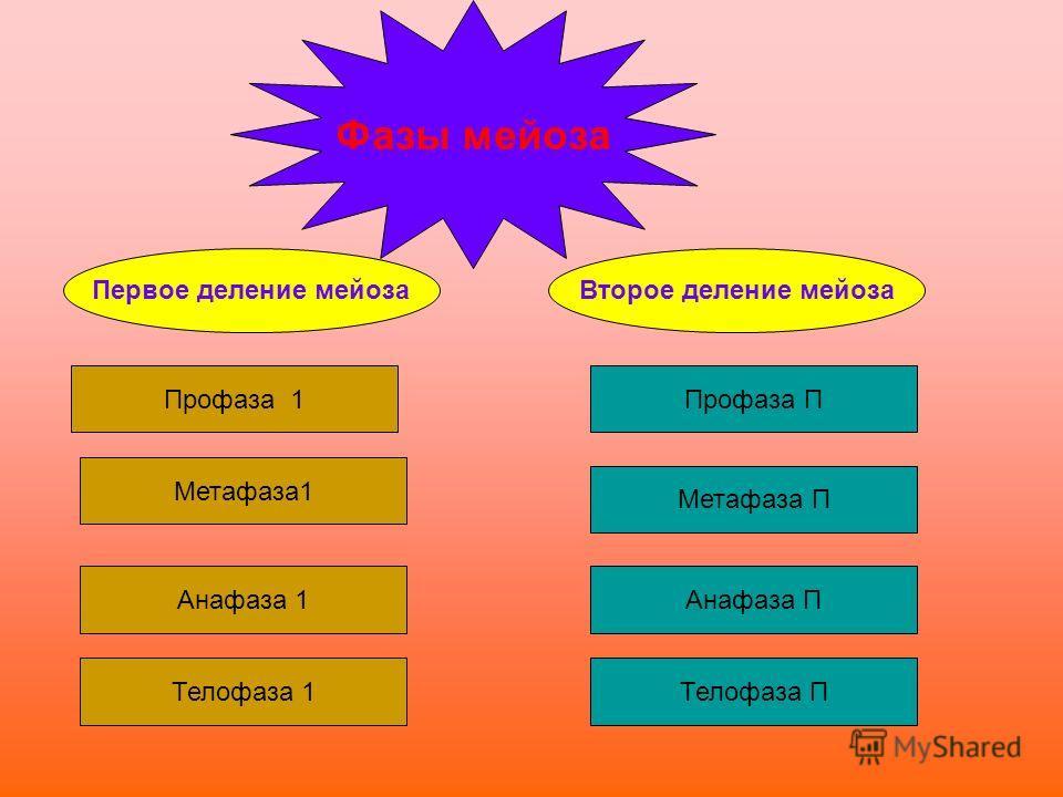 Фазы мейоза Профаза 1 Метафаза1 Анафаза 1 Телофаза 1 Профаза П Метафаза П Анафаза П Телофаза П Первое деление мейозаВторое деление мейоза