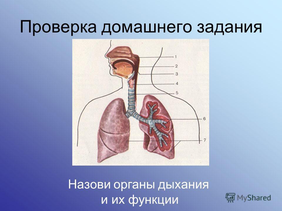 Проверка домашнего задания Назови органы дыхания и их функции