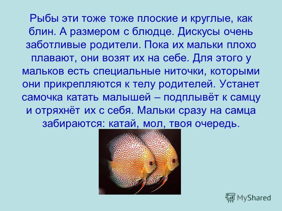 Рыбы эти тоже тоже плоские и круглые, как блин. А размером с блюдце. Дискусы очень заботливые родители. Пока их мальки плохо плавают, они возят их на себе. Для этого у мальков есть специальные ниточки, которыми они прикрепляются к телу родителей. Уст