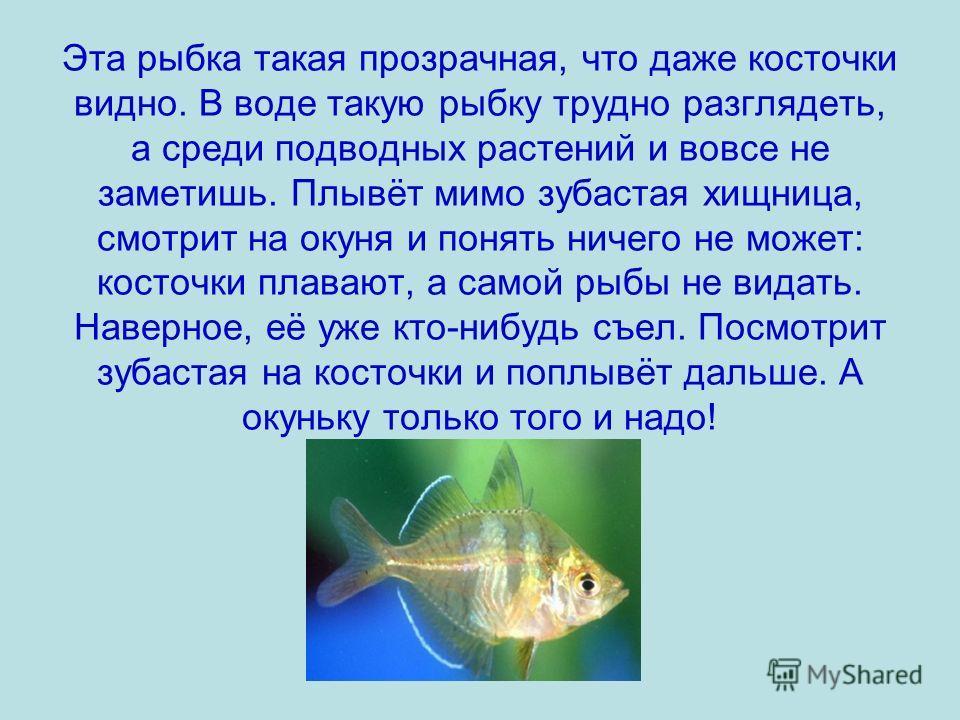 Эта рыбка такая прозрачная, что даже косточки видно. В воде такую рыбку трудно разглядеть, а среди подводных растений и вовсе не заметишь. Плывёт мимо зубастая хищница, смотрит на окуня и понять ничего не может: косточки плавают, а самой рыбы не вида